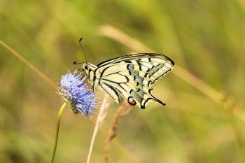 Schmetterlink